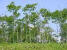 마을의 나무 시라카바