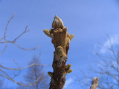 미도리가오카 삼림공원의 만슈그르미