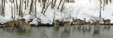 강 안의 에조 사슴