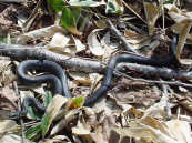 까마귀 뱀
