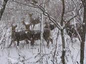 에조 사슴들